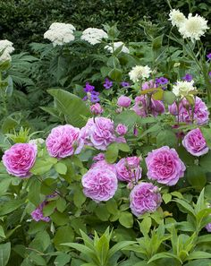 Gertrude Jekyll.  To learn more about growing beautiful roses you can take an online course with David Austin roses here http://www.my-garden-school.com/course/david-austins-growing-roses/