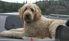 types of goldendoodle haircuts Goldendoodle Haircuts, Goldendoodle Grooming, Dog Haircuts, Mini Goldendoodle, Dog Grooming, Goldendoodles, Dog Pictures, Animal Pictures, Doodle Dog