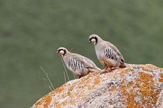 Przevalski's Partridge Alectoris magna - Google Search