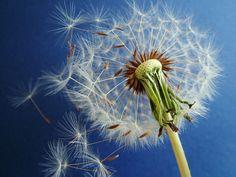 """Blue Dandelion"" - photo by Daniela Caneschi"