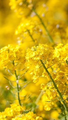 Nature Spring Yellow Cole Flowers  #iPhone #6 #plus #wallpaper