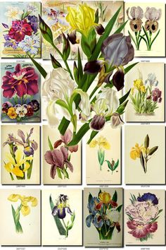 IRIS-2 Collection of 150 vintage images botanical picture High resolution digital download printable 300 dpi flags perennial bulbous large           data-share-from=listing        >           <span class=etsy-icon