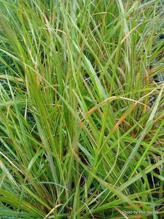 Taranaki Educational Resource: Research, Analysis and Information Network - Anemanthele lessoniana (Gossamer grass) Native