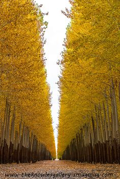 Poplar trees on a tree farm autumn by The Knowles Gallery, via Flickr
