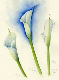 Image result for zantedeschia aethiopica