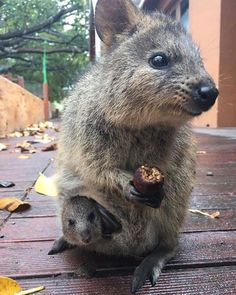 Rottnest Island home of the cutest (and the most photogenic) marsupial on the planet the Quokka - Rottnest Island WA