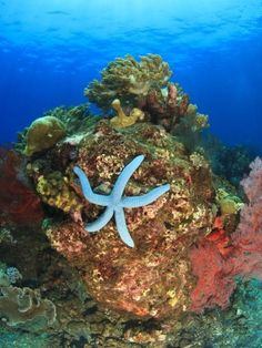 ... this would be my wall decor.   Blue Sea Star, Indonesia #BucketList