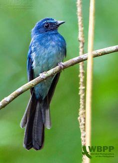 Fantails Rhipiduridae, Birds Fantails, Birds Drongos, Birds Animals, Wild Birds, Mindanao Blue, Blue Fantail, Fantail Endemic, Lovely Cats