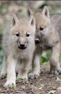 Yes,I know they are wolves. Of Wolf And Man, Malamute, Baby Animals, Cute Animals, Wolf World, Wolf Pictures, Animal Pictures, Arctic Wolf, Wolf Stuff