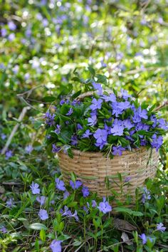cu flori violet: viata mea secreta in padure, my secret life in the woods Flower Basket, My Flower, Secret Life, Flower Arrangements, Woods, Flora, Bouquet, Herbs, Garden