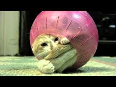 That's a hamster ball. but that's not a hamster! I'm a kitty stuck in a hamster ball! Funny Cat Memes, Funny Cat Videos, Funny Cats, Funny Animals, Cute Animals, Funniest Animals, Hilarious, Silly Cats, Cute Kittens