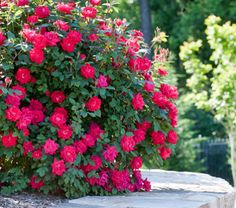 Double Knockout Roses give you no-fuss, huge double-blooms that last up to nine months! #BrighterBlooms