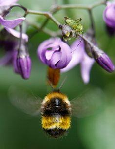 Chubby Bee !!