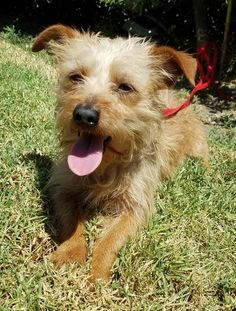 Twitter Los Angeles Area, West Hollywood, Norfolk, Small Dogs, Terrier, Adoption, Twitter, Animals, Foster Care Adoption