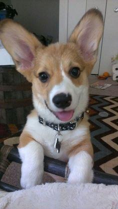 Reggie - corgi puppy