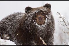 Detroit Zoo Alaskan Bear Cubs, Once Orphaned, Make Local Debut Large Animals, Baby Animals, Funny Animals, Cute Animals, Wild Animals, Funny Cats, Grizzly Bear Cub, Bear Cubs, Polar Bear