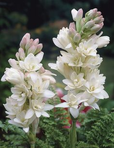 The Pearl Double Tuberose - Veseys. Anna Wintour's favorite flower;)