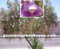 The Desert Willow Tree(Chilopsis linearis)  This desert low watering spring blooming tree does well in the southwest. There are several varieties that you use can use for your landscaping needs.
