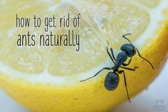 Wondering how to get rid of ants naturally? Here are ways to get rid of these pests in the kitchen, home, and outside without harming your family & pets! Citrus Essential Oil, Tea Tree Essential Oil, Essential Oils, Natural Home Remedies, Natural Healing, Herbal Remedies, Health Remedies, Holistic Healing, Ant Remedies