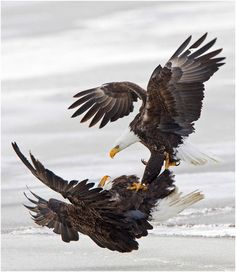Dos águilas luchando en pleno vuelo | LaReserva