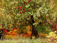 pretty autumn apple orchard