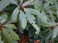 szkodniki rododendrónów - opuchlak