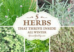Grow Herbs Indoors: 5 Herbs that Thrive Inside All Winter via Grow a Good Life. I've experimented with ways to grow herbs indoors during the winter. Here are 5 herbs that can grow successfully with low light and cooler temperatures.