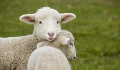Attualià: #Pasqua #2017: il #50% degli italiani mangerà agnello secondo la Coldiretti (link: http://ift.tt/2p69uOK )