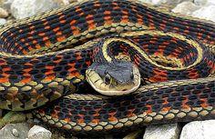 Black and red garter snake
