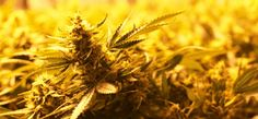 In state-regulated markets, marijuana is getting cheaper thanks to the economic forces of supply and demand.