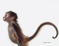the animal print shop - baby monkey wall-ideas Baby Animals, Funny Animals, Cute Animals, Fine Art Photo, Photo Art, Different Types Of Monkeys, Animal Print Shop, Animal Prints, Wild Animals Photography
