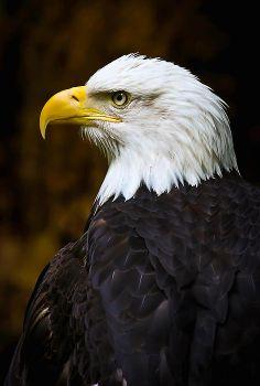 Bald Eagle Photo by Lou Eagle Images, Eagle Pictures, Eagle Bird, Bald Eagle, Exotic Birds, Colorful Birds, Bird Barn, Barn Owls, Aigle Animal