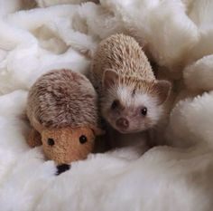 A little hedgehog with a stuffed twin! Awww