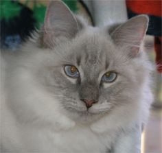 """""""Bella Bleu"""" from Johns Creek, GA is aptly named with her beautiful coat and blue eyes ♥"""