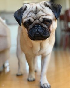 Pugs, Pug Puppies, Chocolate Cocker Spaniel, Pug Love, Gaia, Funny Dogs, Cute Pictures, Cute Animals, Animals