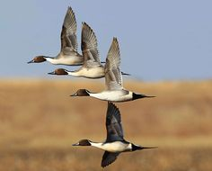 Tim Campbell gives you eight simple tips to get you ready for a monster duck hunting season.