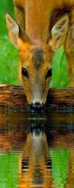 #Beauty #Deer #Reflection #deerseason #Cool #Animals https://www.pinterest.com/moycomp/pets-animals-puppy-dog-cat
