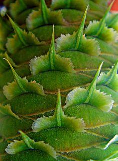 Abies alba cone close up
