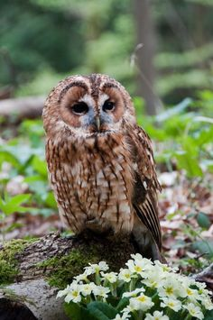 10 Spectacular Tawny Owl Photos You Have to See Beautiful Owl, Animals Beautiful, Cute Animals, Owl Photos, Owl Pictures, Strix Aluco, Tawny Owl, Reptiles, Owl Bird
