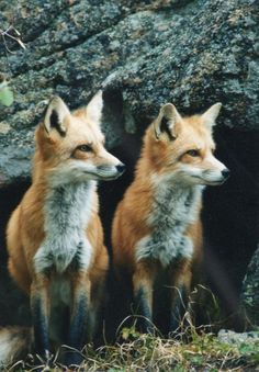 Foxes.  Soooo cute!