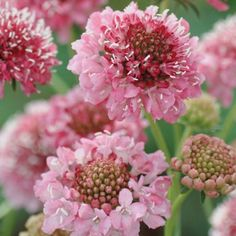 SCABIOSA SEEDS | SALMON QUEEN | Pincushion Flowers