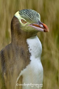 Endangered Yellow-eyed Penguin hiding amongst the tall grass Moeraki New Zealand & The New Zealand Kaka also known as K?k? (Nestor meridionalis) is ... 25forcollege.com