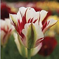 Tulip - Flaming Spring Green