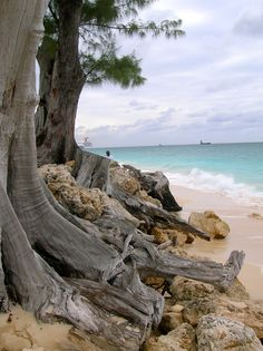Grand Cayman-Walked pass these tree just about everyday-Seven Mile Beach
