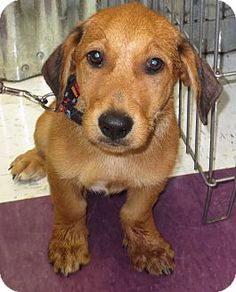 Maddy's Info...  Breed:Basset Hound/Dachshund MixColor:UnknownAge:Puppy Size:Med. 26-60 lbs (12-27 kg)Sex:Male ID#:13097 I am good with kids, good with dogs, and good with cats.  Maddy's Story... dumped in the country in Vila, CO with his two littermates. Estimated 3-4 months old. More info soon!