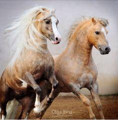 Deux chevaux galop