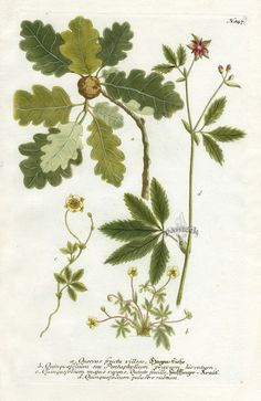 Botanical Drawings | Johann Weinmann Botanical Prints 1737