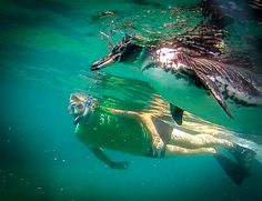 Swimming with Galapagos Penguins is a rare experience. Read the secrets behind how we spent 30 minutes snorkeling with this adorable species! Penguin Videos, Galapagos Penguin, Tortoise Food, Peru Beaches, Blue Footed Booby, Russian Tortoise, Galapagos Islands, Galapagos Trip, South America Travel