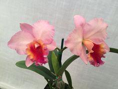 Cattleya Royal Beau 'Hihimanu' (Princess Bells x Beaufort) #cattleya #orchid #orchidsbyhausermann | by Orchids by Hausermann