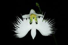 Pecteilis radiata   Einer Erdorchidee Vorkommen: Japan, Korea und China